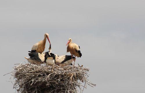 storchennest storks rattle stork