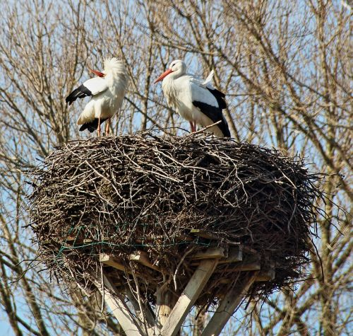 storchennest stork couple storks