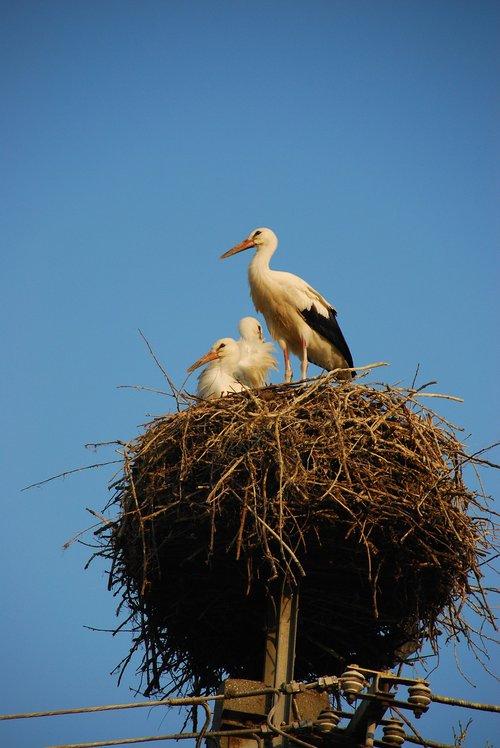 storchennest  stork  rattle stork