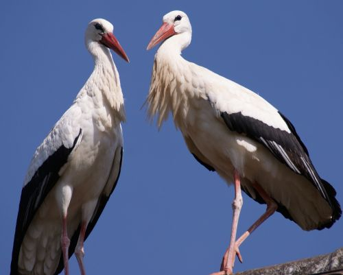 stork bird birds