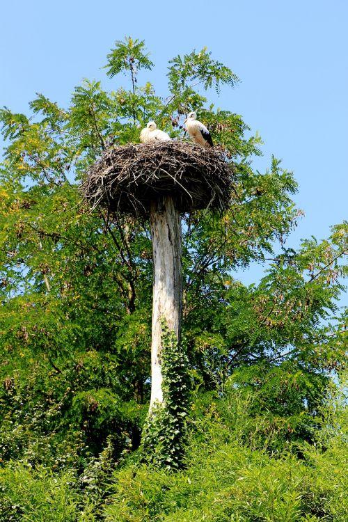 stork bird storchennest