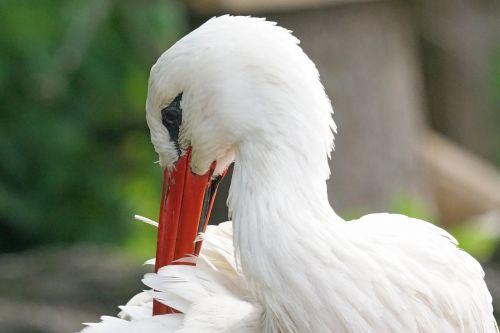 stork rattle stork white stork