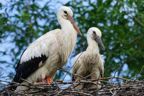 stork adebar rattle stork