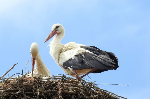 stork stork couple nest