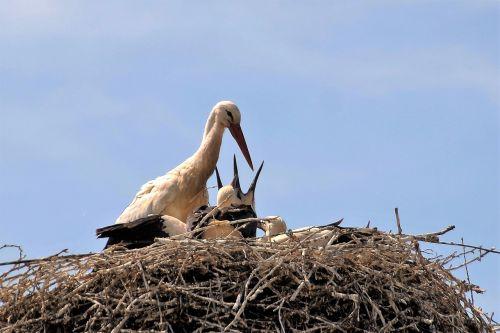 stork nest feeding