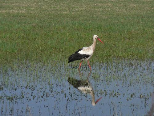 stork wetland reflection