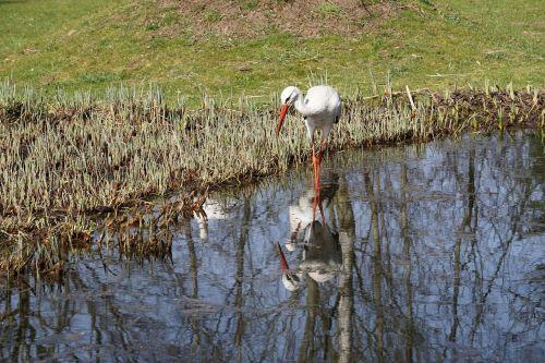 stork waters bird