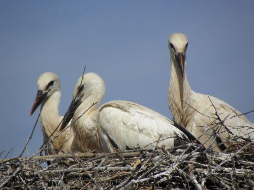 stork bird ready