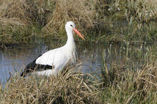 stork bird normandy
