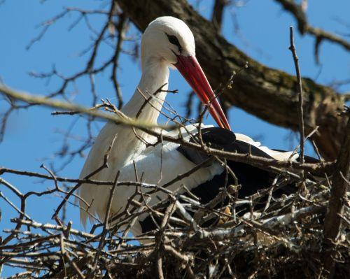 stork white stork breed