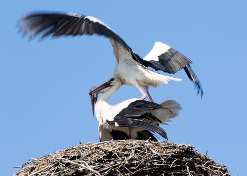 stork may spring