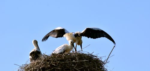 stork stork family young