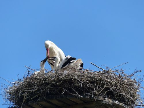stork nest stork couple