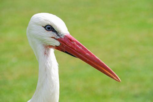 stork close up bird