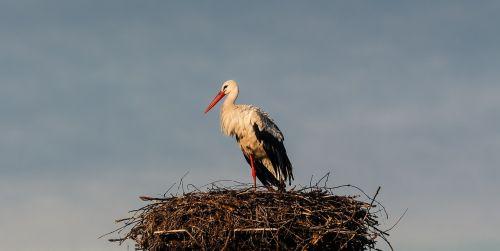 stork nature rattle stork