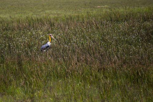 stork adjutant bird