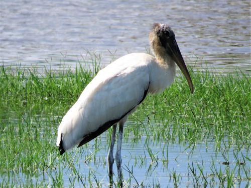 stork swamp bird birding