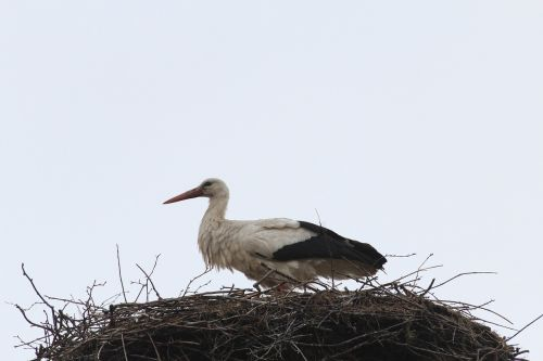 stork storchennest nest