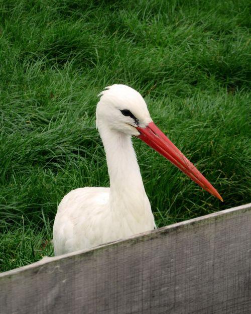 stork bird bill
