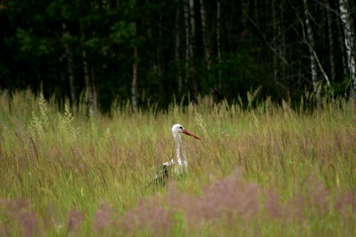 stork nature meadow
