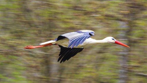 stork  flying  rattle stork