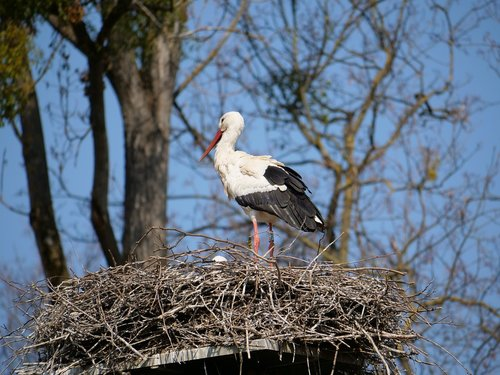 stork  nest  young