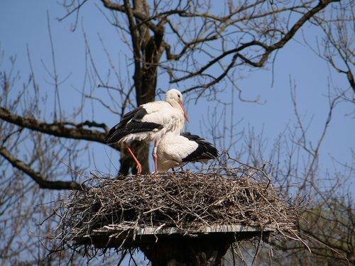 stork  nest  pair