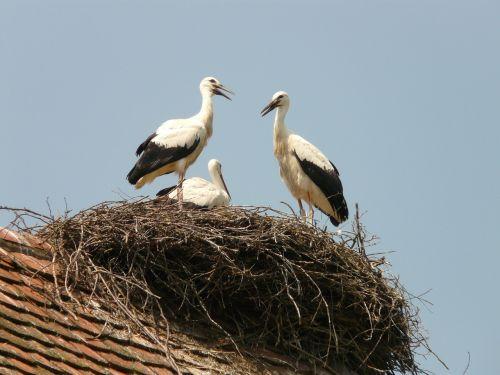 stork storchennest bird
