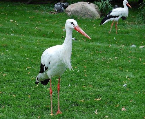 stork  bird  animal world