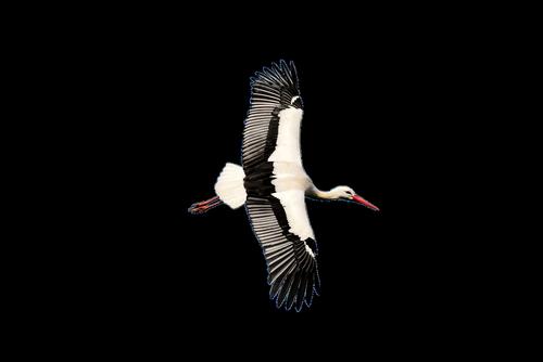 stork  transparent  rattle stork