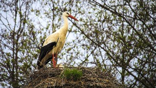 stork  horst  white stork