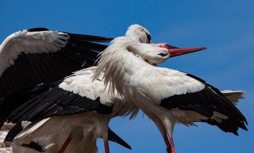 stork  storks  animal