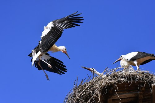 stork  young animals  flying