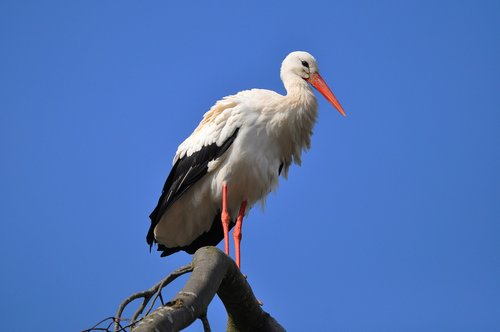 stork  wading bird  animal