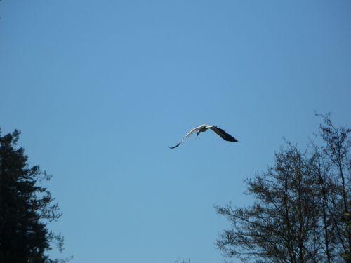 stork fly bird