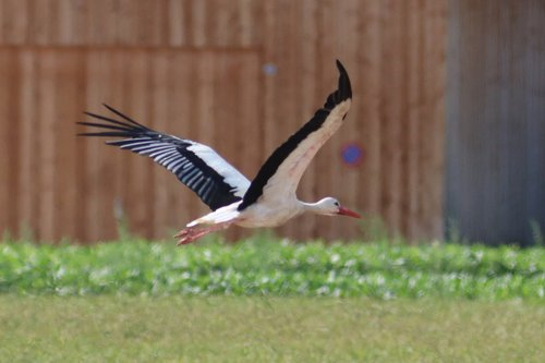 stork  flying  rattle stork