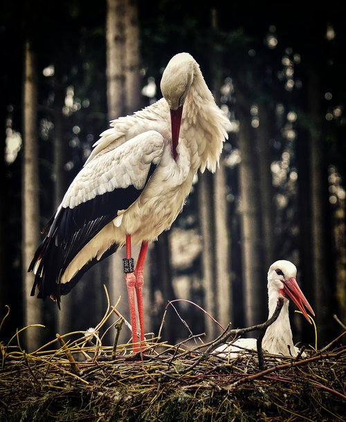 stork  nest building  pair