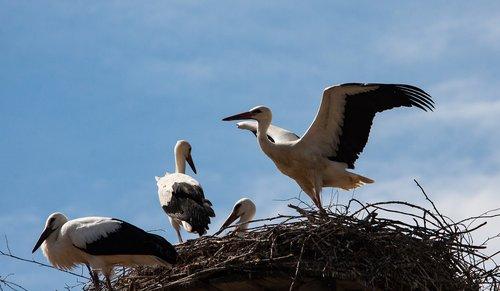 stork  storks  bird