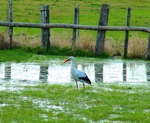 stork  marsh  nature