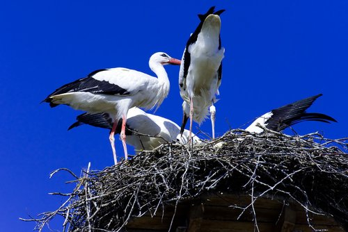 stork  feed  young animals