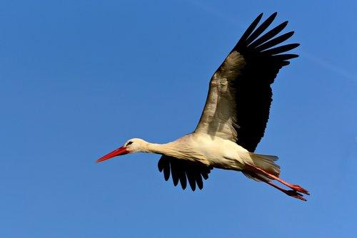 stork  wading bird  animal
