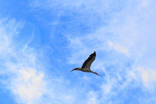 stork  bird  flying