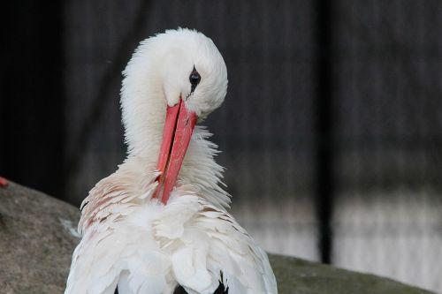 stork white stork storks
