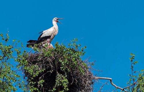 stork  rattle stork  nest