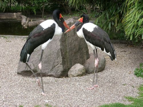 stork stork type saddle stork