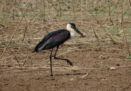 stork woolly necked ciconia