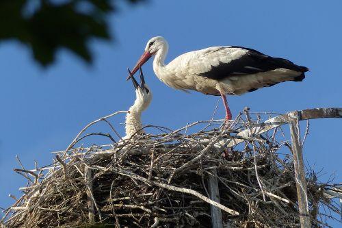 stork bird storks