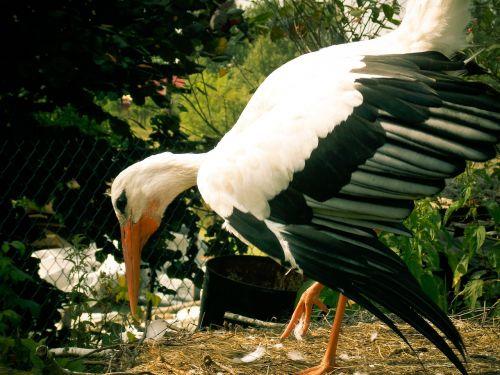 stork bird white