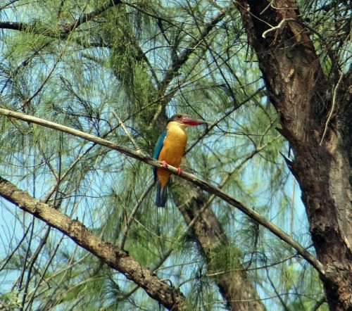 stork-billed kingfisher casuarina tree perching