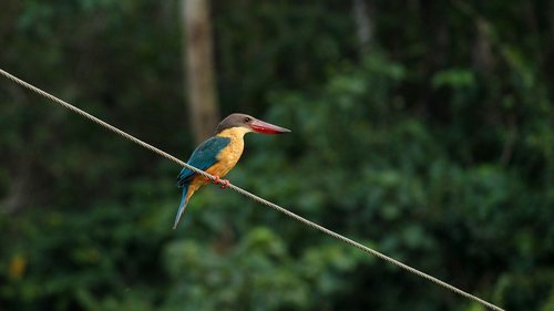 stork billed kingfisher  kingfisher  bird